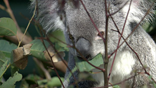 Close up photo of a Koala in a tree